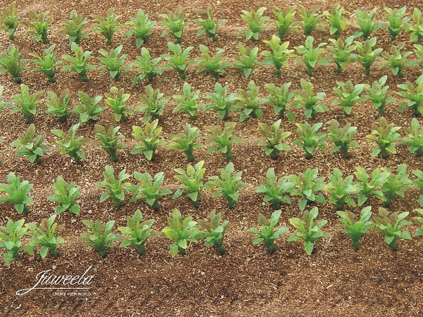 Sugarbeet plants (+/- 2cm high) 25 pieces
